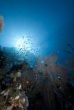 seafan glassfish的海洋 免版税图库摄影