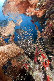 Seafan and glassfish. Taken in the red sea Stock Photo