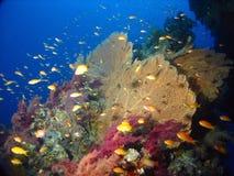 Seafan im Erg Somaya Lizenzfreie Stockbilder