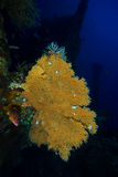 Seafan at Liberty Wreck. Underwater picture of Seafan at Liberty Wreck Royalty Free Stock Image