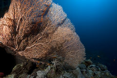 Seafan and ocean. Taken in the Red Sea Stock Photography