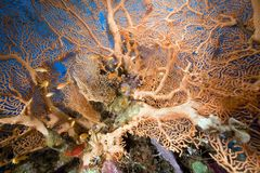 Seafan and ocean. Royalty Free Stock Photography