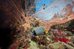 Seafan, ocean and fish. Taken in the Red Sea Royalty Free Stock Images