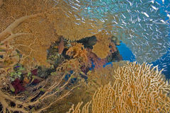 Seafan, ocean and fish Royalty Free Stock Images