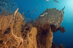 Seafan, ocean and fish Royalty Free Stock Image