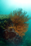Seafan on a reef in pattaya Stock Photography