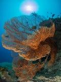 Seafan sous la lumière du soleil Photo libre de droits
