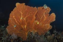 Seafan subaquático no mar de Andaman, Tailândia Foto de Stock