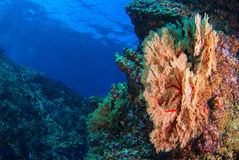 Seafan underwater. Seafan at reef under blue sea Royalty Free Stock Images