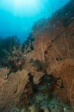 Seafans en het aquatische leven in het Rode Overzees stock afbeeldingen