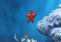 Star fish Royalty Free Stock Photos