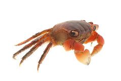 Seafood animal red crab isolated Royalty Free Stock Photography