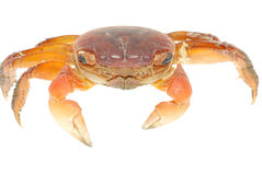 Seafood animal red crab isolated Royalty Free Stock Photo
