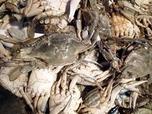 Seafood Background. Fresh Ocean crabs make a Seafood Background royalty free stock photography