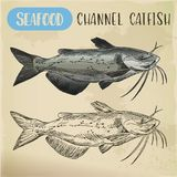 Channel catfish sketch. Seafood and fish. Seafood channel catfish of aquaculture sketch. Hand drawn ocean or sea, river fish for shop or store signboard Stock Photo