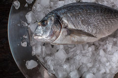 Seafood cooking preparation. Top view of dorado on ice. Stock Photos