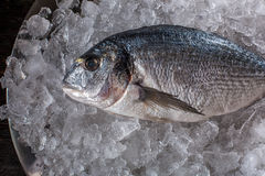Seafood cooking preparation. Top view of dorado on ice. Royalty Free Stock Photo