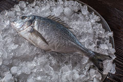 Seafood cooking preparation. Top view of dorado on ice. Stock Photography