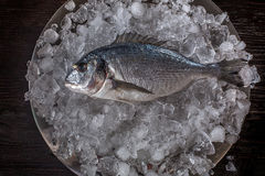 Seafood cooking preparation. Top view of dorado on ice. Stock Images