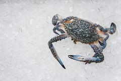 Seafood crab on ice Fresh raw Blue Swimming Crab ocean gourmet in the restaurant. Seafood crab on ice / Fresh raw Blue Swimming Crab ocean gourmet in the stock photography