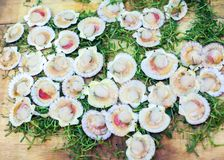 Seafood delicacies. Fresh scallops on green background. Seafood delicacies. Fresh scallops on a green background Stock Photo