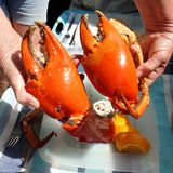 Seafood. Large Mud Crab Nippers. Stock Photography