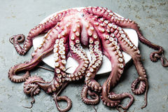 Seafood octopus. Whole fresh raw octopus on gray slate background, top view.  Royalty Free Stock Images