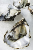 Seafood - Oysters Stock Photography