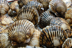 Seafood: Scallop Stock Images