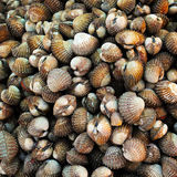 Seafood: Scallop. Photo of Seafood: Scallop, close up royalty free stock images