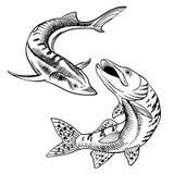Seafood set with sturgeon and pike illustration. stock illustration