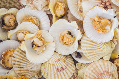 Seafood. Shellfish. Background of boiled scallops. A background of raw scallops. Sea food concept Royalty Free Stock Image