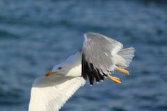 Seafull en mer Photos libres de droits