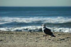 Seagall que olha fixamente no oceano Fotografia de Stock Royalty Free