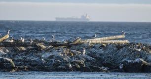 Seagauls av på Haro Strait arkivbilder
