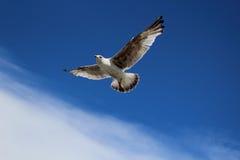 Seagle i himlen Arkivbild