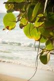 seagrape结构树 免版税库存照片