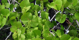 Seagrape Tree Royalty Free Stock Photo