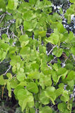 Seagrapeboom Royalty-vrije Stock Afbeeldingen