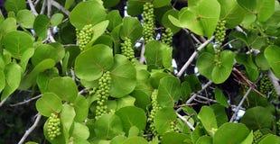 Seagrapeboom Royalty-vrije Stock Foto
