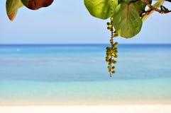 Seagrapes und tropischer Strand Lizenzfreie Stockfotos