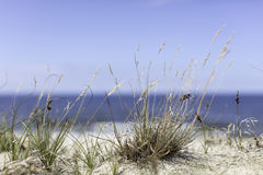 Seagrass on the beach. Seagrass at the beach on the baltic sea Royalty Free Stock Images
