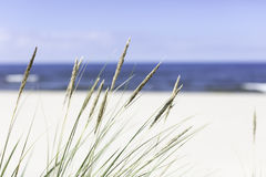 Seagrass on the beach. Seagrass at the beach on the baltic sea Stock Image