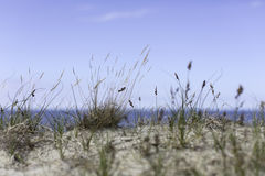 Seagrass on the beach. Seagrass at the beach on the baltic sea Royalty Free Stock Photography