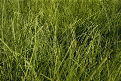 Seagrass Royalty Free Stock Image