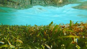 Seagrass Bed In Turqoise Water. Underwater Shot Of A Cymodocea Seagrass Meadow, Ecologically Important Due To Holding Twice As Much Carbon Dioxide As Rain Royalty Free Stock Photos