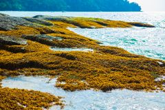 Seagrass på vagga, havsväxt på vagga, mossa, alger arkivfoton