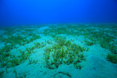 Seagrass plant. On the bottom of the red sea Royalty Free Stock Photos