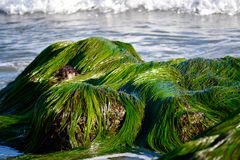 Seagrass on Rocks in Ocean. Green seagrass on the rocks in the ocean at tide pools Stock Image