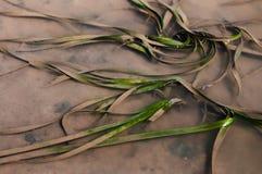 Seagrass, Ruppia maritima, Enhalus acoroides in Tung Yee Peng Ko. Seagrass, Ruppia maritima, Enhalus acoroides in tropical mongrove forest Koh Lanta, Krabi Stock Photo
